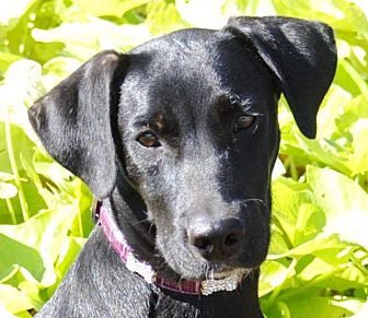 Retriever (Unknown Type)/Labrador Retriever Mix Dog for adoption in Cedartown, Georgia - Dakota