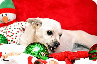 Chihuahua/Terrier (Unknown Type, Small) Mix Dog for adoption in Okeechobee, Florida - Chloe