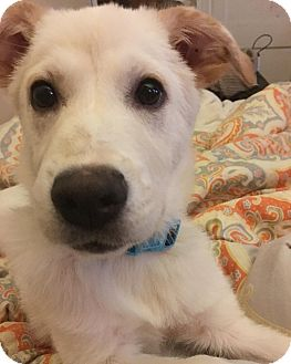 Labrador Retriever Mix Puppy for adoption in Memphis, Tennessee - Lucky