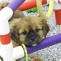 Adopt A Pet :: Georgie - Washington, PA