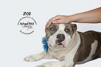 American Staffordshire Terrier Mix Dog for adoption in Los Angeles, California - Zoe