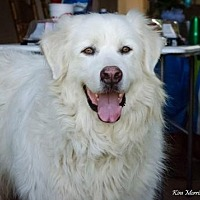 Great Pyrenees Dog for adoption in Whitewright, Texas - Albus