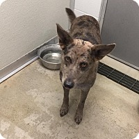 Australian Cattle Dog/Catahoula Leopard Dog Mix Dog for adoption in Humble, Texas - Trinity