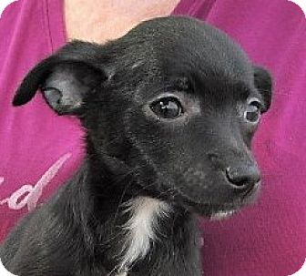 Chihuahua/Miniature Pinscher Mix Puppy for adoption in Germantown, Maryland - Black Beauty