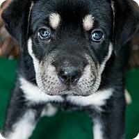 Adopt A Pet :: Puppy Koi - Miami, FL
