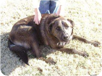 Labrador Retriever/German Shepherd Dog Mix Dog for adoption in Newcastle, Oklahoma - Brownie