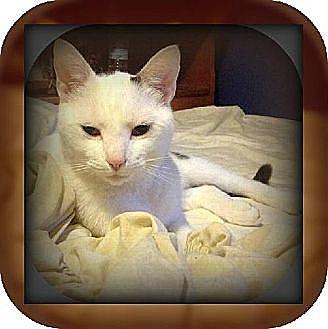 Domestic Shorthair Cat for adoption in Laconia, Indiana - Mario