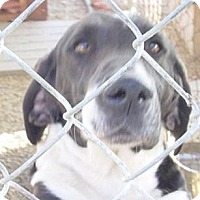 Labrador Retriever/Basset Hound Mix Dog for adoption in Porter Ranch, California - Otto(BRN)