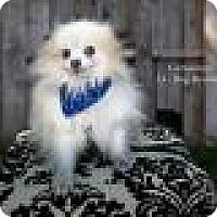 Adopt A Pet :: Geronimo - Shawnee Mission, KS