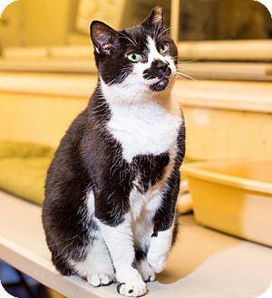 Domestic Shorthair Cat for adoption in Brooklyn, New York - Cool, Considerate, Companionable Clownie