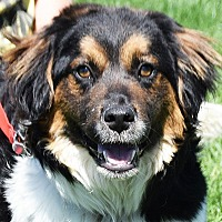 Collie/Spaniel (Unknown Type) Mix Puppy for adoption in Huntley, Illinois - Spencer