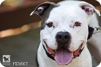 American Staffordshire Terrier Mix Dog for adoption in Carlsbad, California - Fidget *special needs*