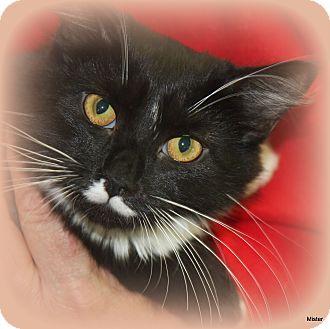Domestic Mediumhair Cat for adoption in O Fallon, Illinois - Sissy
