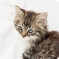 Adopt A Pet :: Austina - Fountain Hills, AZ