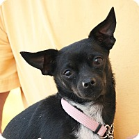 Chihuahua Mix Dog for adoption in Palmdale, California - Lady Bug