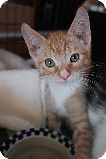 Domestic Shorthair Kitten for adoption in San Pablo, California - ORPHAN 1