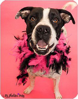 American Pit Bull Terrier/Dalmatian Mix Dog for adoption in Phoenix, Arizona - Dollie