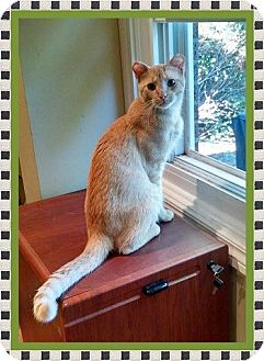 Domestic Shorthair Cat for adoption in Mt. Prospect, Illinois - Tipper