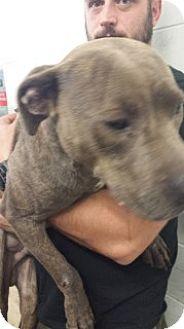 American Pit Bull Terrier Mix Dog for adoption in Saginaw, Michigan - Pilgram