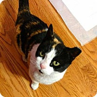 Adopt A Pet :: Clara - Baltimore, MD