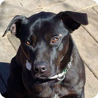 Labrador Retriever Mix Dog for adoption in Lucknow, Ontario - Sam -timid boy-companion dog