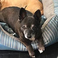 Adopt A Pet :: Bear - Eugene, OR