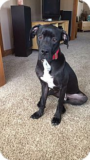 Great Dane/Labrador Retriever Mix Dog for adoption in Lombard, Illinois - Jasper