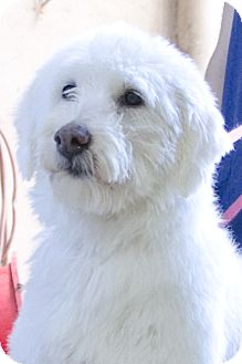 Labradoodle Mix Dog for adoption in Brooklyn, New York - Portia