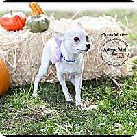 Adopt A Pet :: Snow White - Shawnee Mission, KS