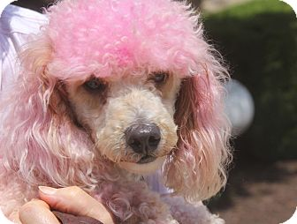 Poodle (Toy or Tea Cup) Dog for adoption in Bowie, Maryland - Adopted! Pippa