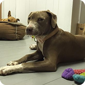 American Pit Bull Terrier Puppy for adoption in Snyder, Texas - Janis Joplin