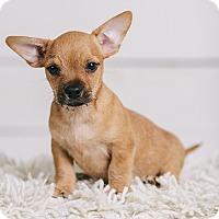 Adopt A Pet :: Brutus - Portland, OR