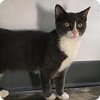 Domestic Shorthair Cat for adoption in Manteo, North Carolina - Gerber