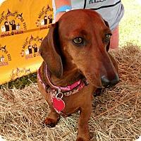 Adopt A Pet :: Midnight - Pinellas Park, FL