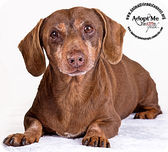 Dachshund Mix Dog for adoption in Lodi, California - Bailey