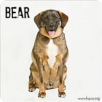 Adopt A Pet :: Bear - Troy, VA