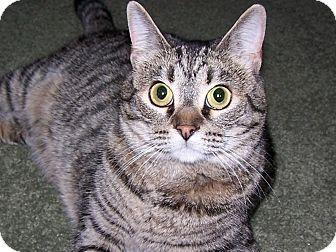 Domestic Shorthair Cat for adoption in Diamond Bar, California - CLEO