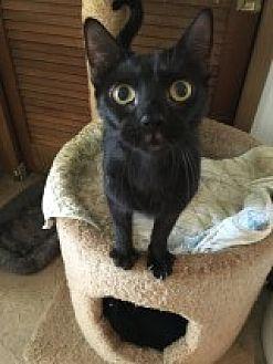 Domestic Shorthair Cat for adoption in Naples, Florida - Bruno