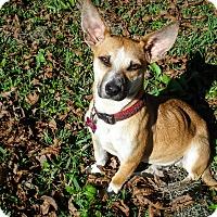 Corgi Mix Dog for adoption in Savannah, Georgia - Jack