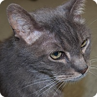 Domestic Shorthair Cat for adoption in Martinsville, Indiana - Stallone