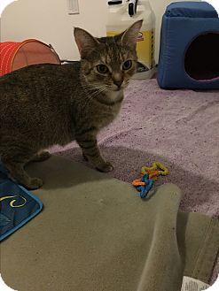 American Shorthair Cat for adoption in Westland, Michigan - Lana