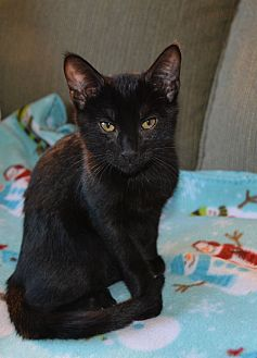 Domestic Shorthair Cat for adoption in Middleton, Wisconsin - Sir Kibbles