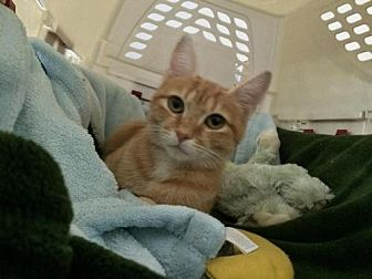 Domestic Shorthair Cat for adoption in Raleigh, North Carolina - Julianne P