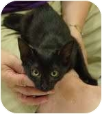 Domestic Shorthair Kitten for adoption in Garland, Texas - Coffee