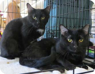 Domestic Shorthair Kitten for adoption in Merrifield, Virginia - Kiwi
