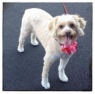 Cockapoo Mix Dog for adoption in Phoenix, Arizona - Dolly