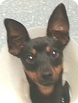Miniature Pinscher Mix Dog for adoption in Orlando, Florida - Manchie
