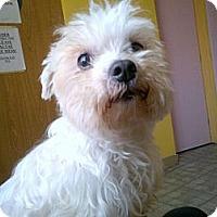 Adopt A Pet :: Mr. Snow - Santa Monica, CA