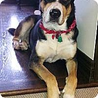 Adopt A Pet :: Oreo - Rigaud, QC