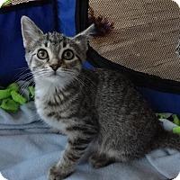 Adopt A Pet :: Payton - St. Louis, MO